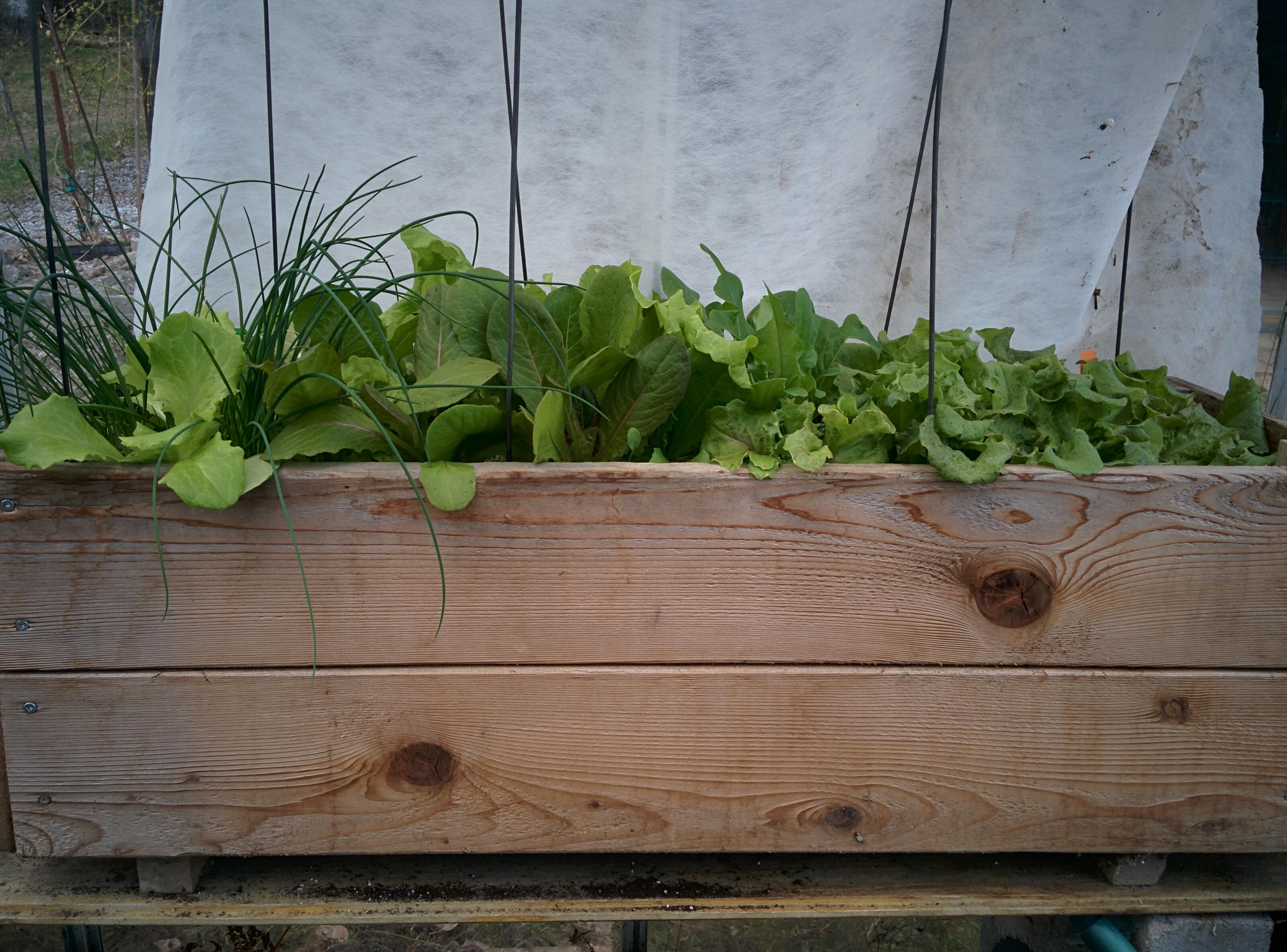 Early Lettuce